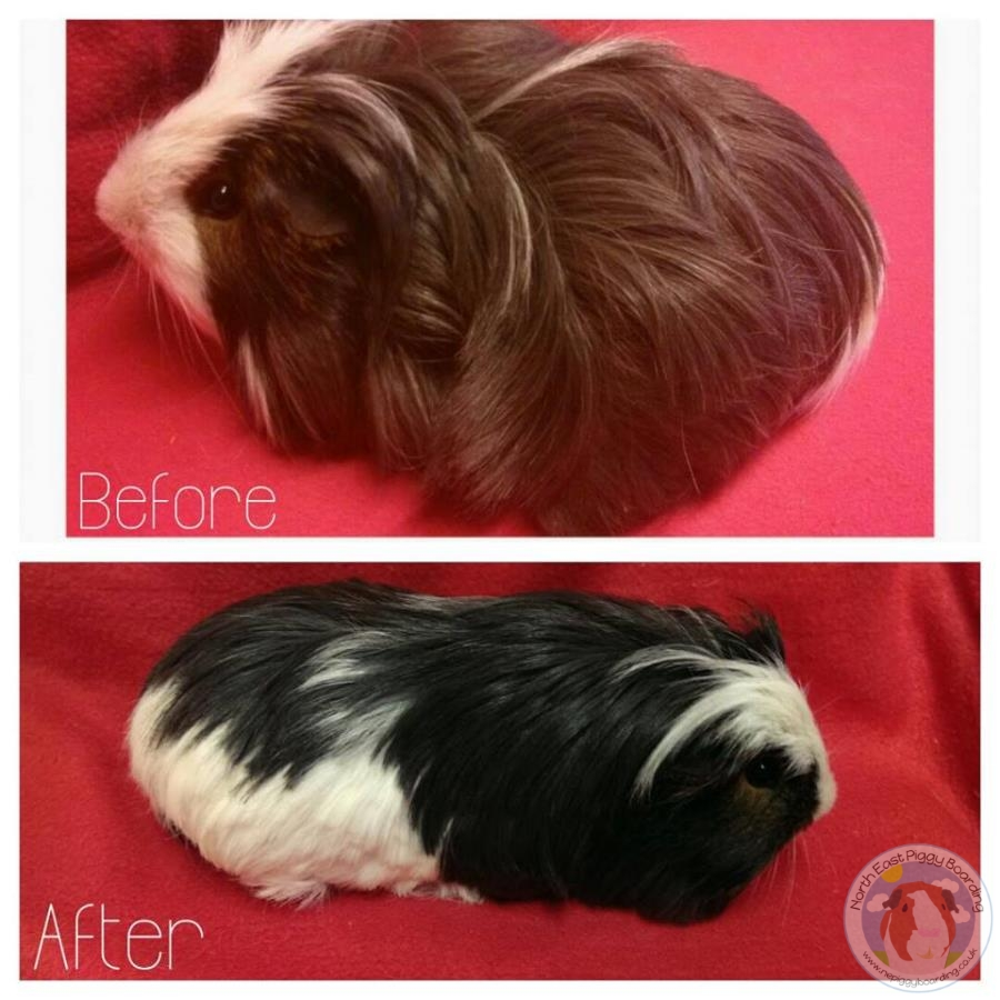 Guinea pig before and after haircut