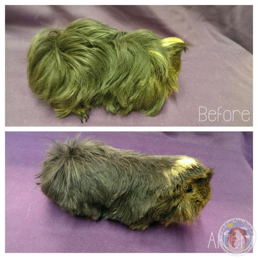 Guinea pig long hair and short hair