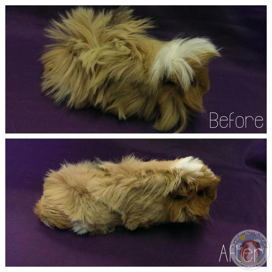 Guinea pig looking better after a haircut